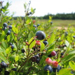 blueberries in field